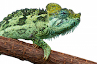 Buy a Helmeted chameleon