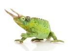 Buy a Jackson's chameleon