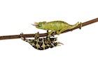 Buy a Mt. Meru chameleon