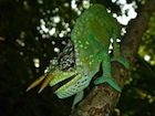Buy a Two Horned Mountain chameleon
