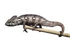Buy an Oustalets chameleon