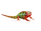Buy a Panther chameleon