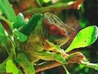 Buy a Parson's  chameleon