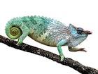 Buy a Pfeffer's chameleon