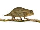 Buy a Pygmy chameleon
