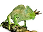 Buy a quadricornis chameleon