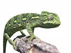 Buy a Sahel chameleon - africanus