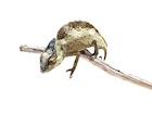 Buy a Sailfin chameleon