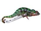 Buy a Sambava Panther chameleon