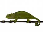 Buy a Senegal chameleon