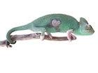 Buy a Translucent Veiled chameleon