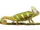 Buy a Veiled chameleon