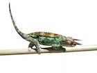 Buy a Werners chameleon