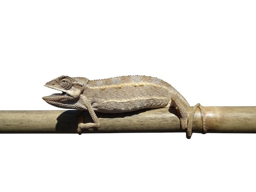 Desert Side Stripe chameleon for sale