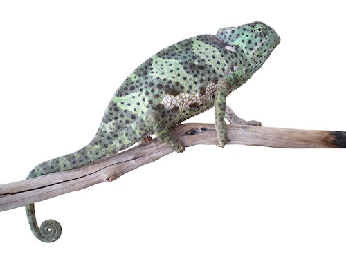 Flapneck chameleon for sale