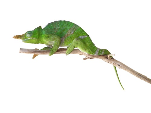 Giant Fischers chameleon for sale