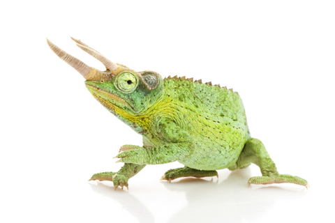 Male jackson chameleon - photo#18