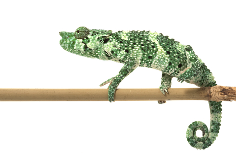 Meller's chameleon for sale