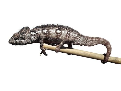 Oustalet's chameleon for sale