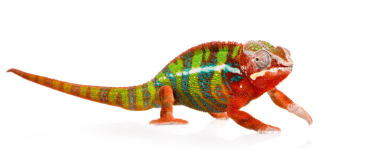 http://www.backwaterreptiles.com/images/chameleons/panther-chameleon-for-sale.jpg