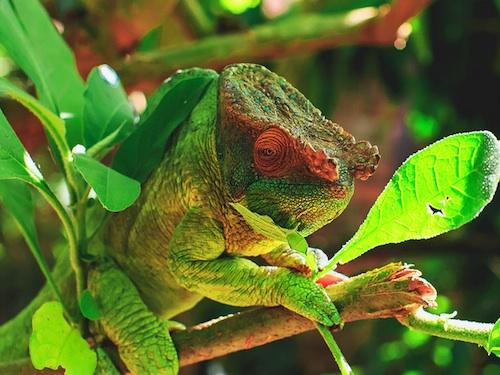 Parson's chameleon for sale - Calumma parsonii