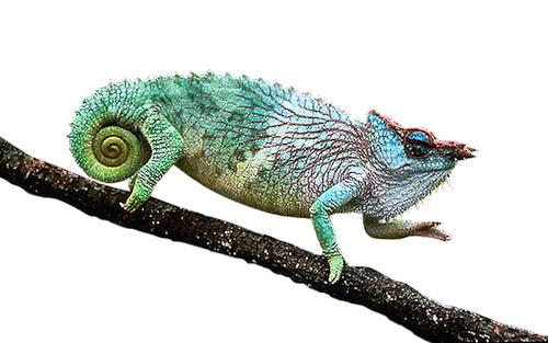 Pfeffer's chameleon for sale