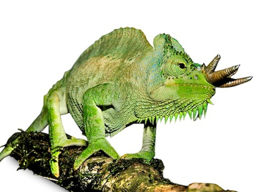 Trioceros quadricornis chameleon for sale