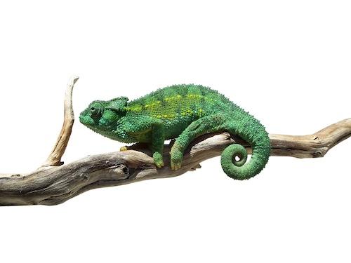 Rudis chameleon for sale