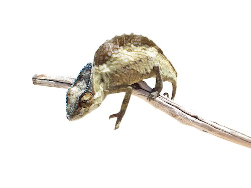 Sailfin chameleon for sale