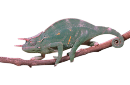 Three Horned chameleon for sale