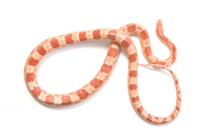 Albino corn snake for sale