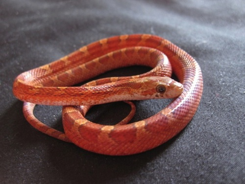 Blood Red corn snake for sale