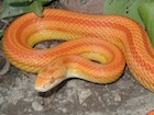 Black Albino Corn Snake - baby het scaleless - Strictly ... |Black Albino Motley Corn Snake