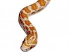 Buy a Crimson Red Corn snake