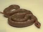 Buy a Lavender Bloodred Corn snake