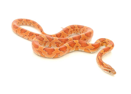 fancy corn snake
