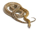 Buy a Corn snake morph