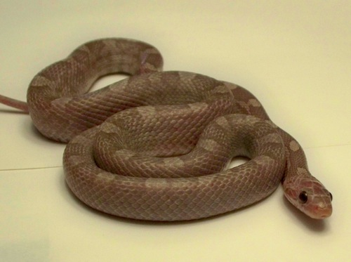 Lavender Blood Red Corn snake for sale
