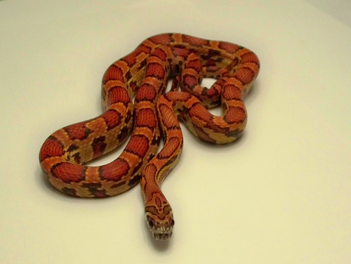 Sunkissed Corn Snake For Sale Reptiles For Sale