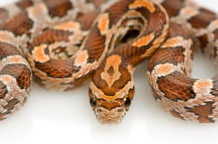 Ultra Corn snake for sale