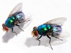 Buy Blue Bottle fly larvae for sale