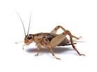 Buy crickets for sale
