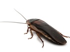 Buy Dubia Roaches for sale