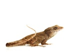 Buy Feeder Anoles for sale