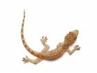 Buy Feeder Geckos for sale