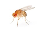 Buy Fruit Flies for sale