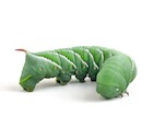 Buy Hornworms for sale