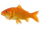 Buy Live Goldfish