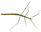 Buy Stick insects for sale