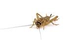 Buy vita crickets for sale